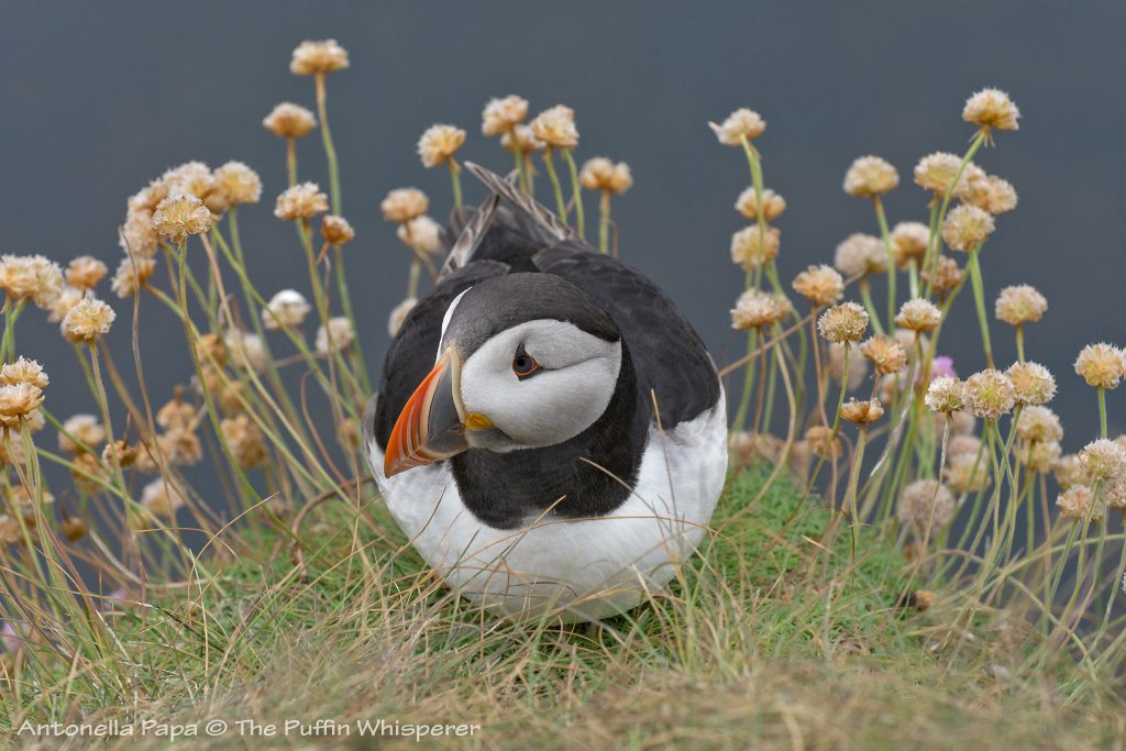 Puffin on his flowered balcony © antonella papa