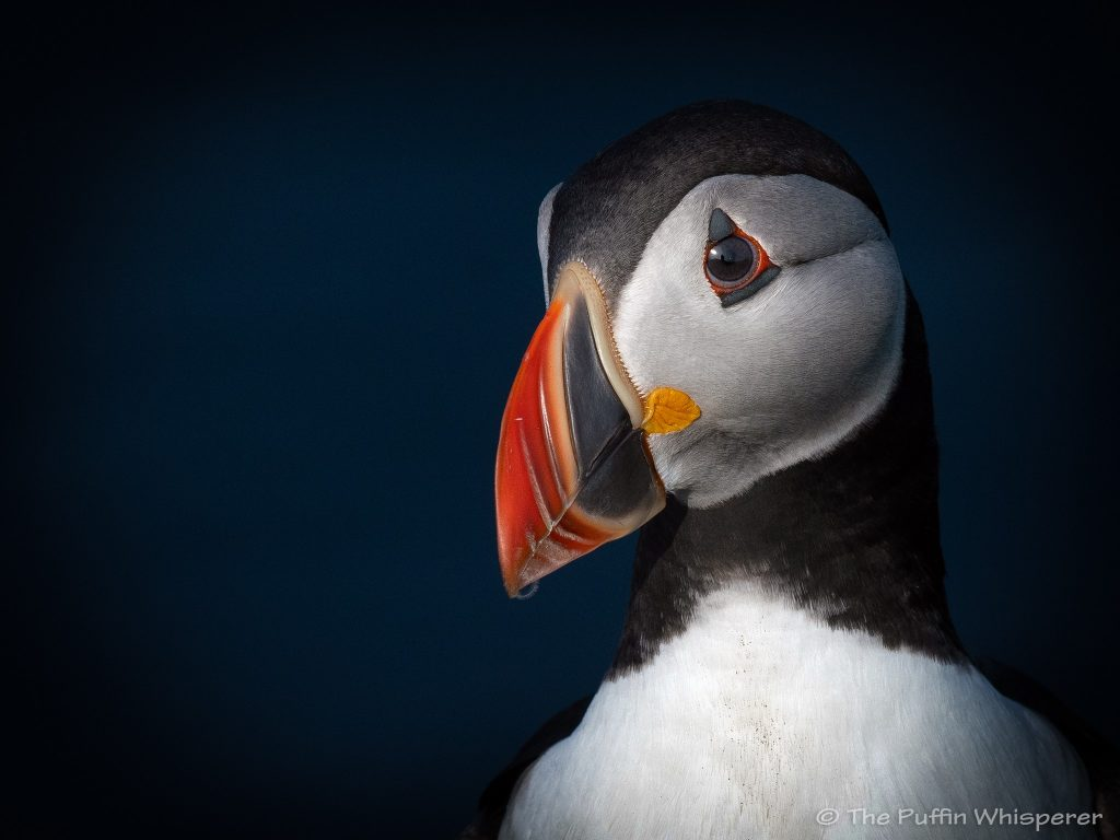 The Sweetest Puffin, Westray - The Puffin Whisperer - Photograph © Antonella Papa
