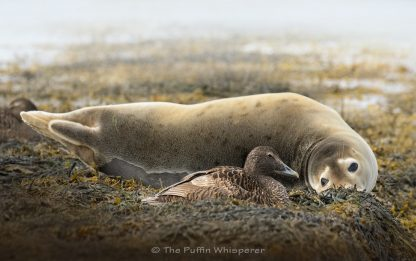 The Selkie and the Eider ©