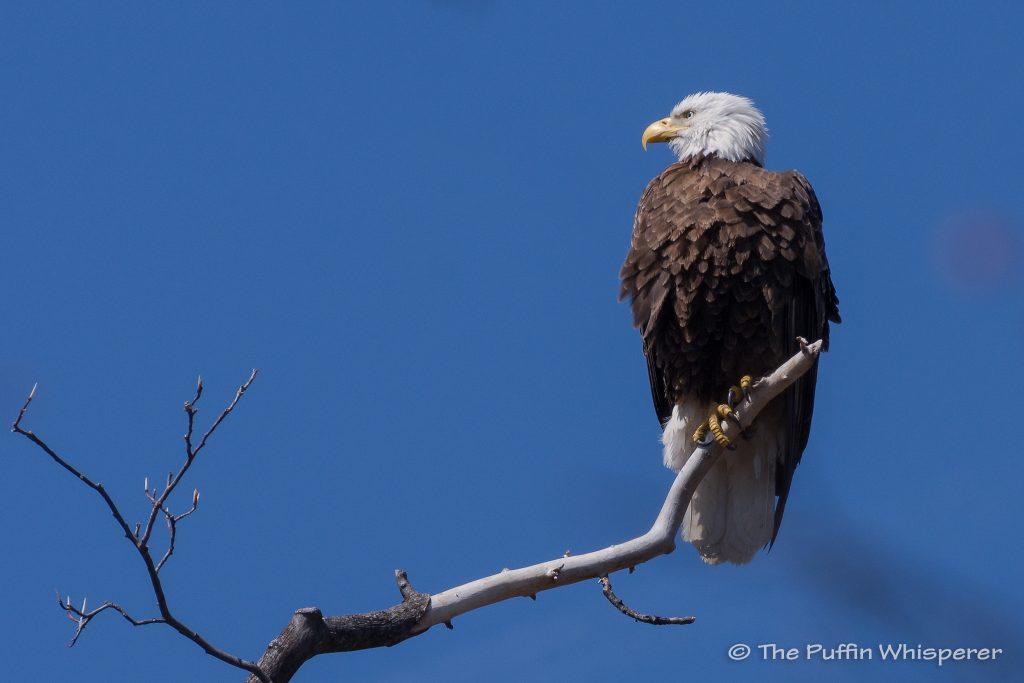 Bald-Eagle-Dyke-Marsh-©-Antonella-Papa