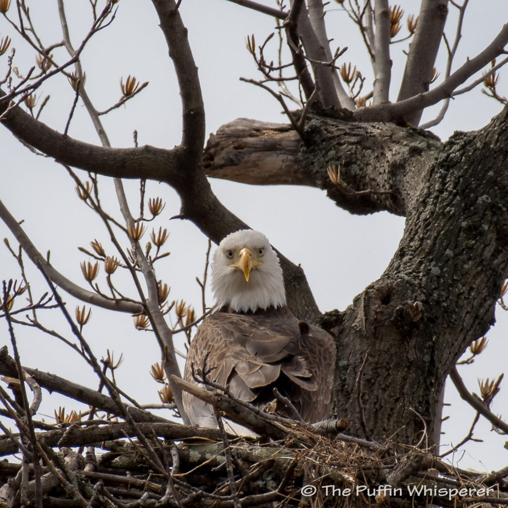Bald-eagle-funny-pose-©-Antonella-Papa