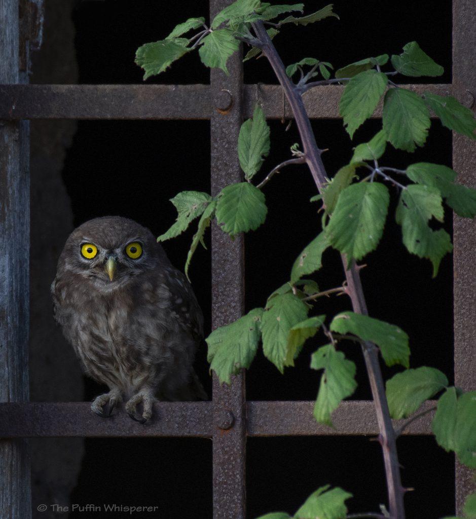 Civetta-Little-owl-©-Antonella-Papa