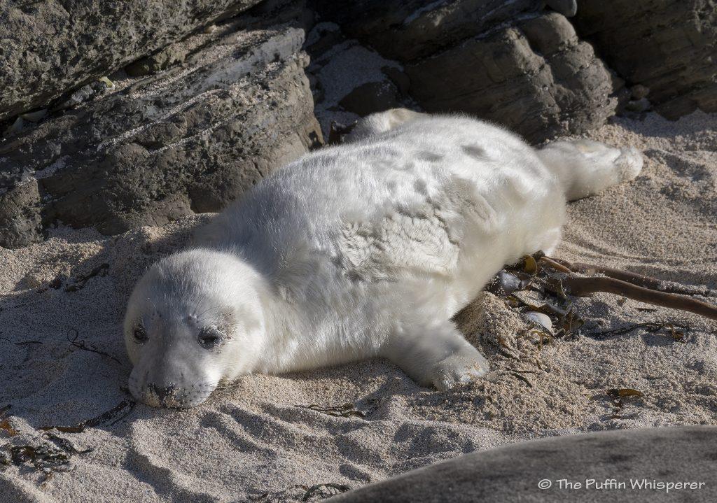 Fluffy-baby-Grey-seal-©-Antonella-Papa