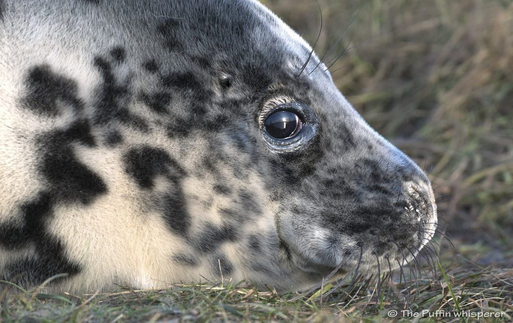 Grey-Seal-Pup-Westray-sunset-©-Antonella-Papa