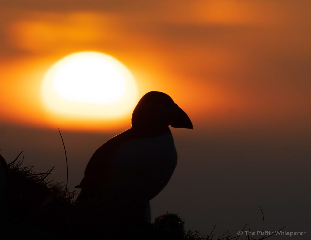 Puffin and sunset © Antonella Papa