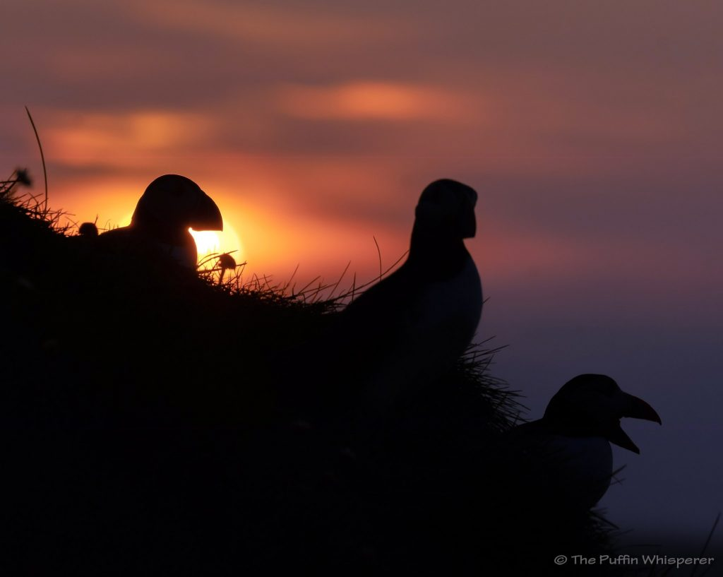Puffin-sunset-© Antonella Papa