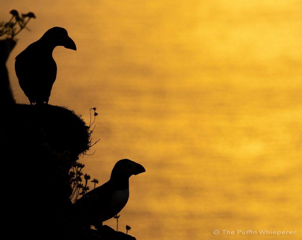 Sunset-Puffins © Antonella Papa