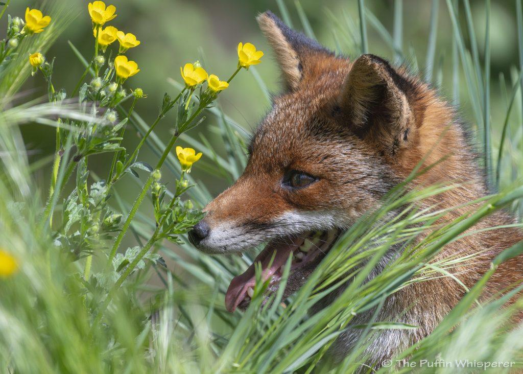 La-volpe-e-i-fiori-© Antonella Papa