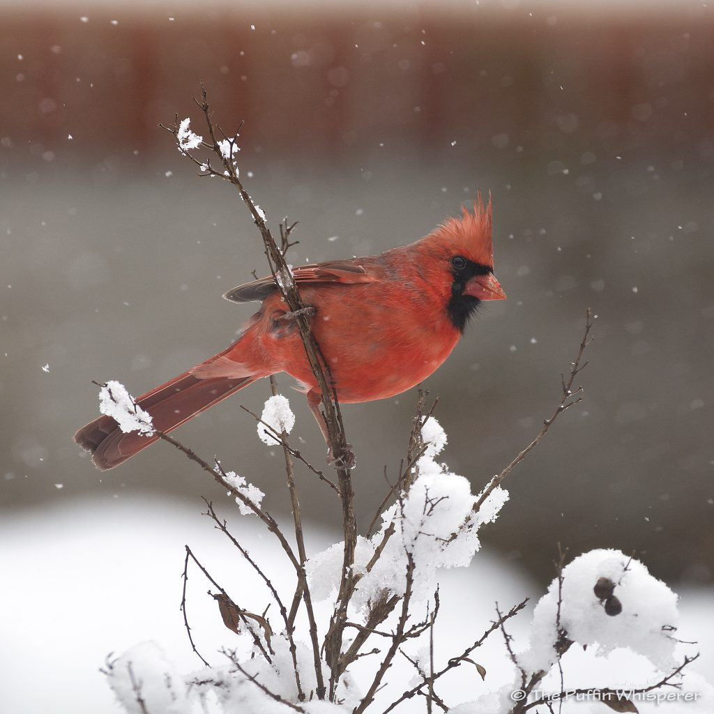 Northern-cardinal-and-the-snow-©-Antonella-Papa