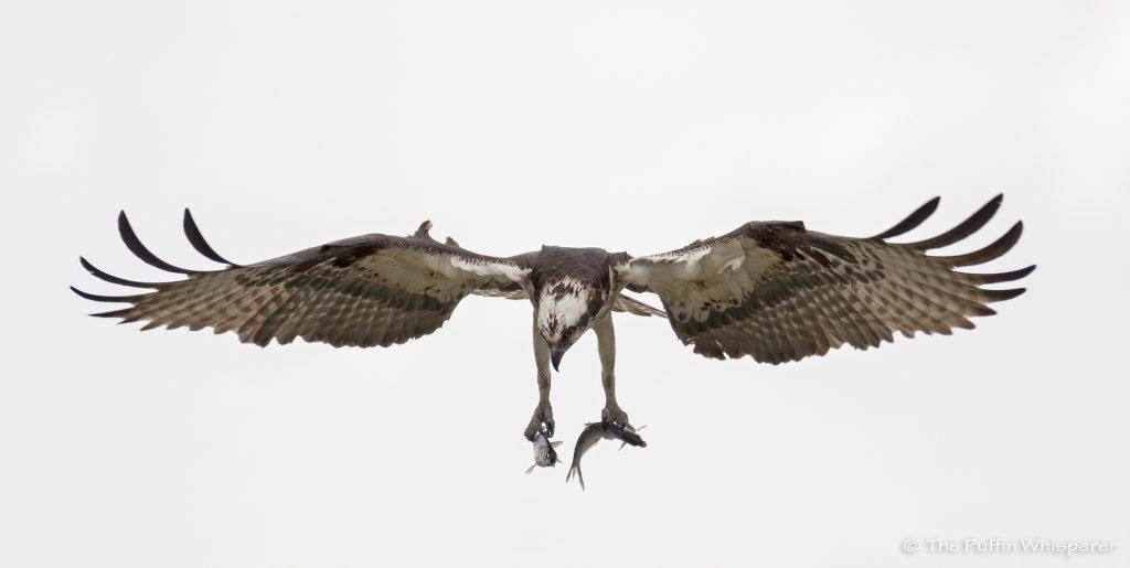 Osprey-2-fish-Dyke-Marsh-Virginia-©-Antonella-Papa