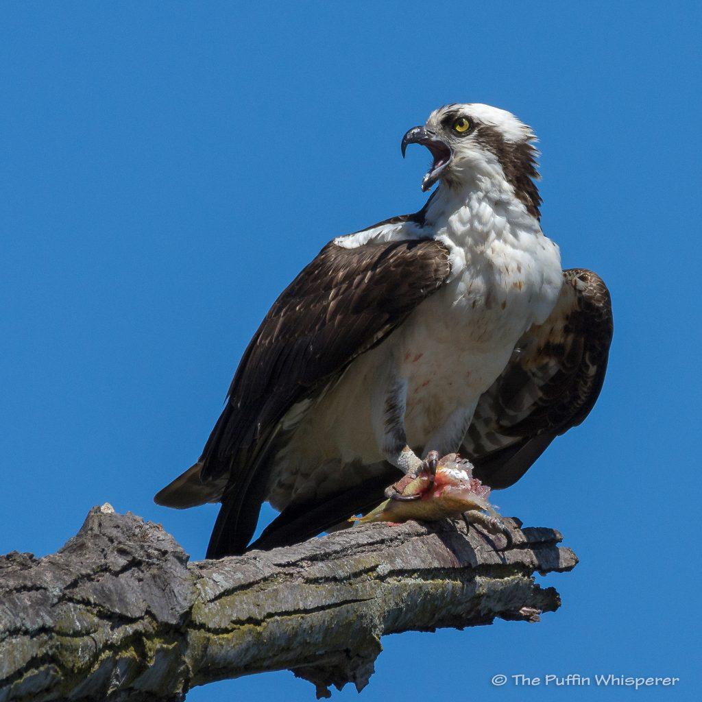 Osprey-Dyke-Marsh-Virginia-©-Antonella-Papa