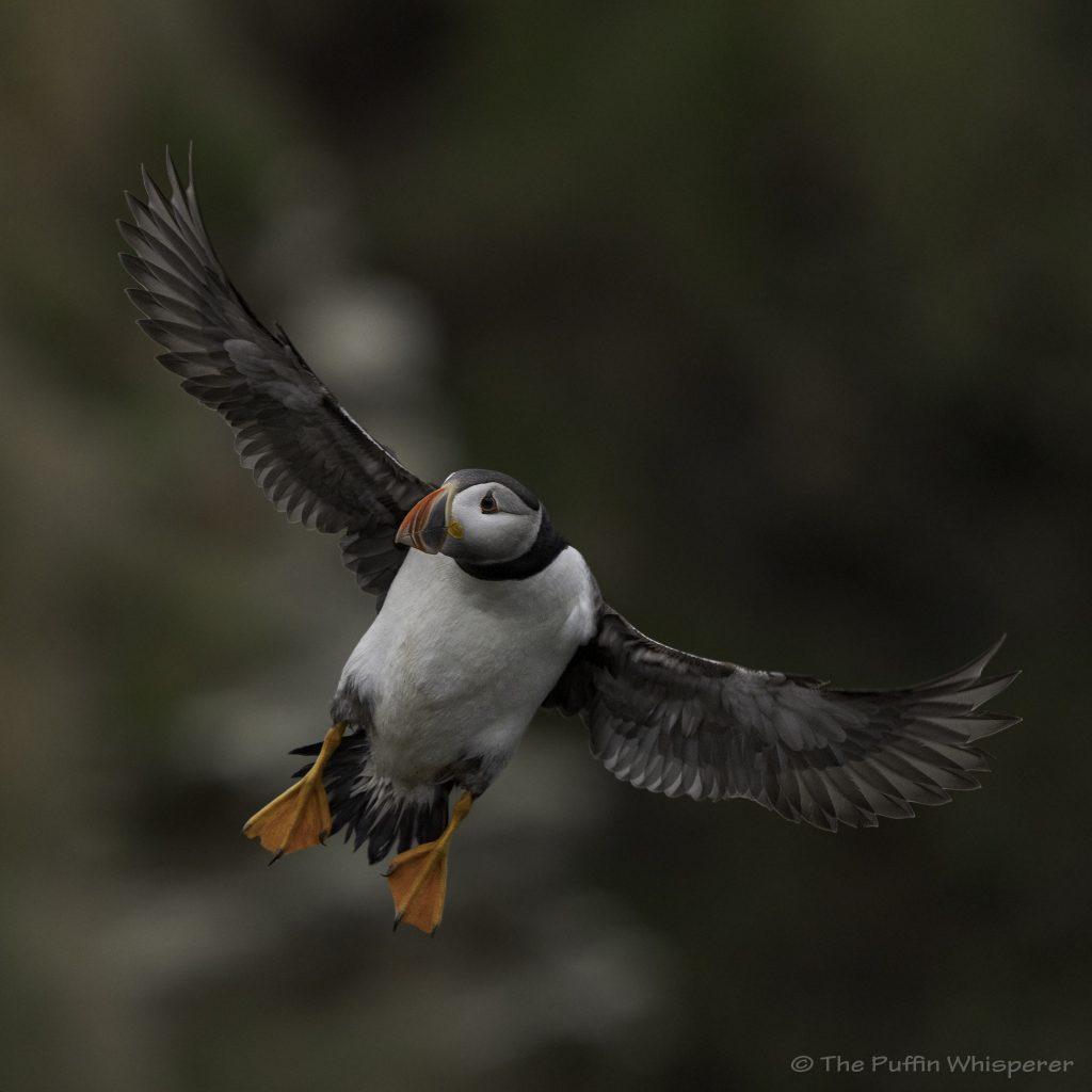 Puffin-in-flight-© Antonella Papa