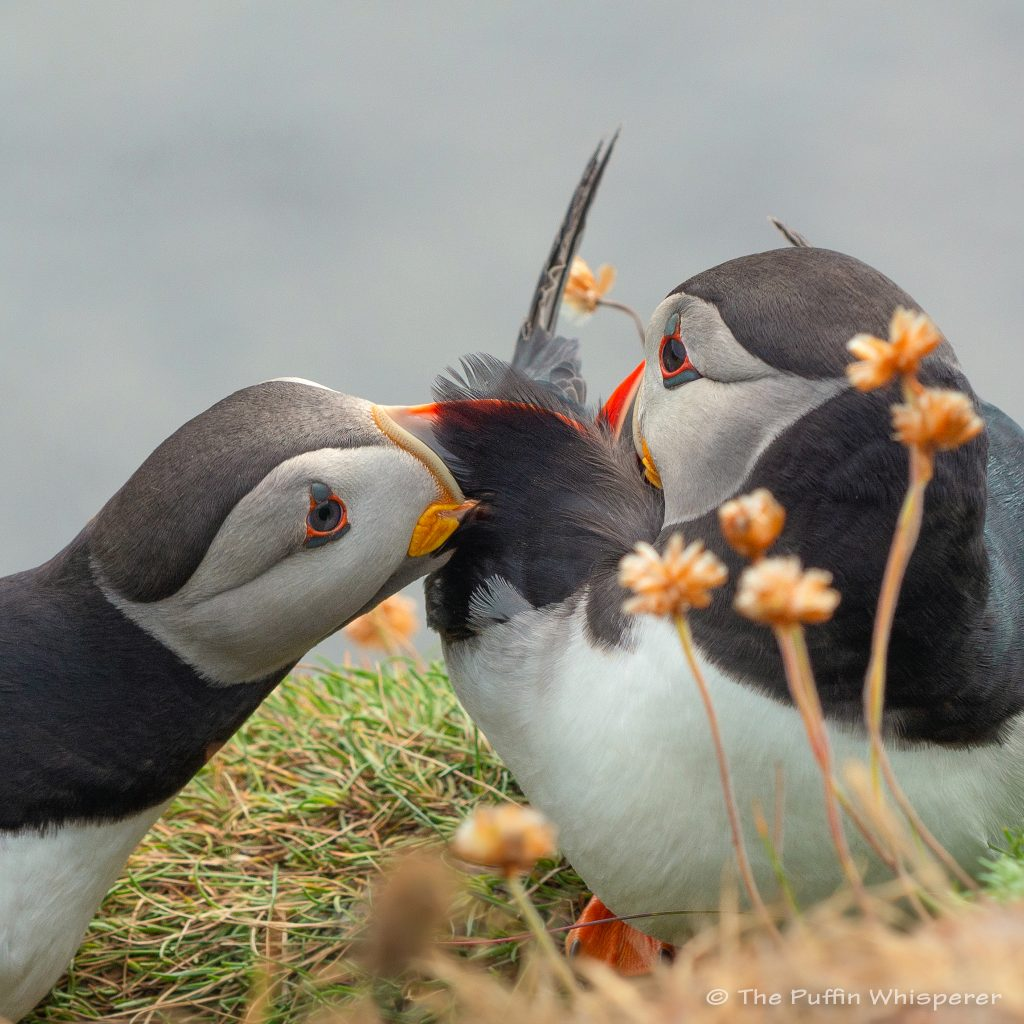 Puffin-preening-I-love-your-feathers-©-Antonella-Papa