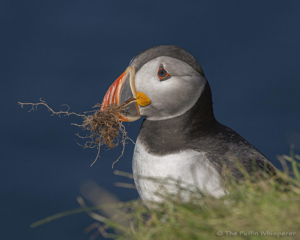 Puffin-with-roots-1-@ Antonella Papa