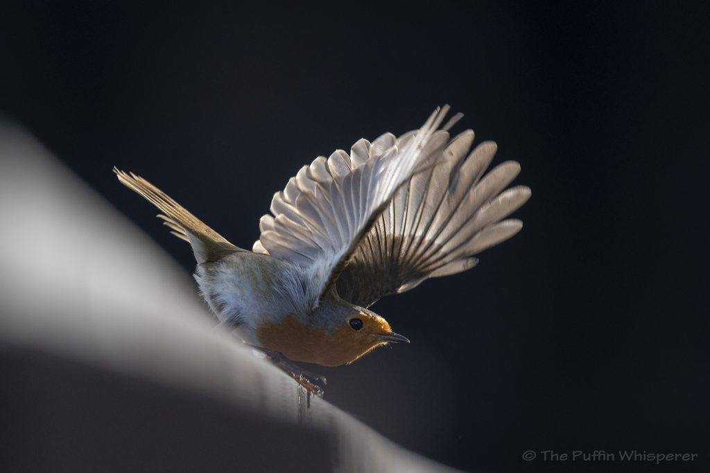 Robin- Devon © Antonella Papa