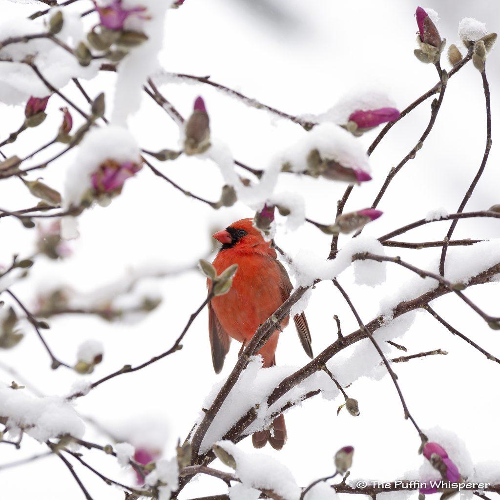 Northern-cardinal-in-the-snow-©-Antonella-Papa
