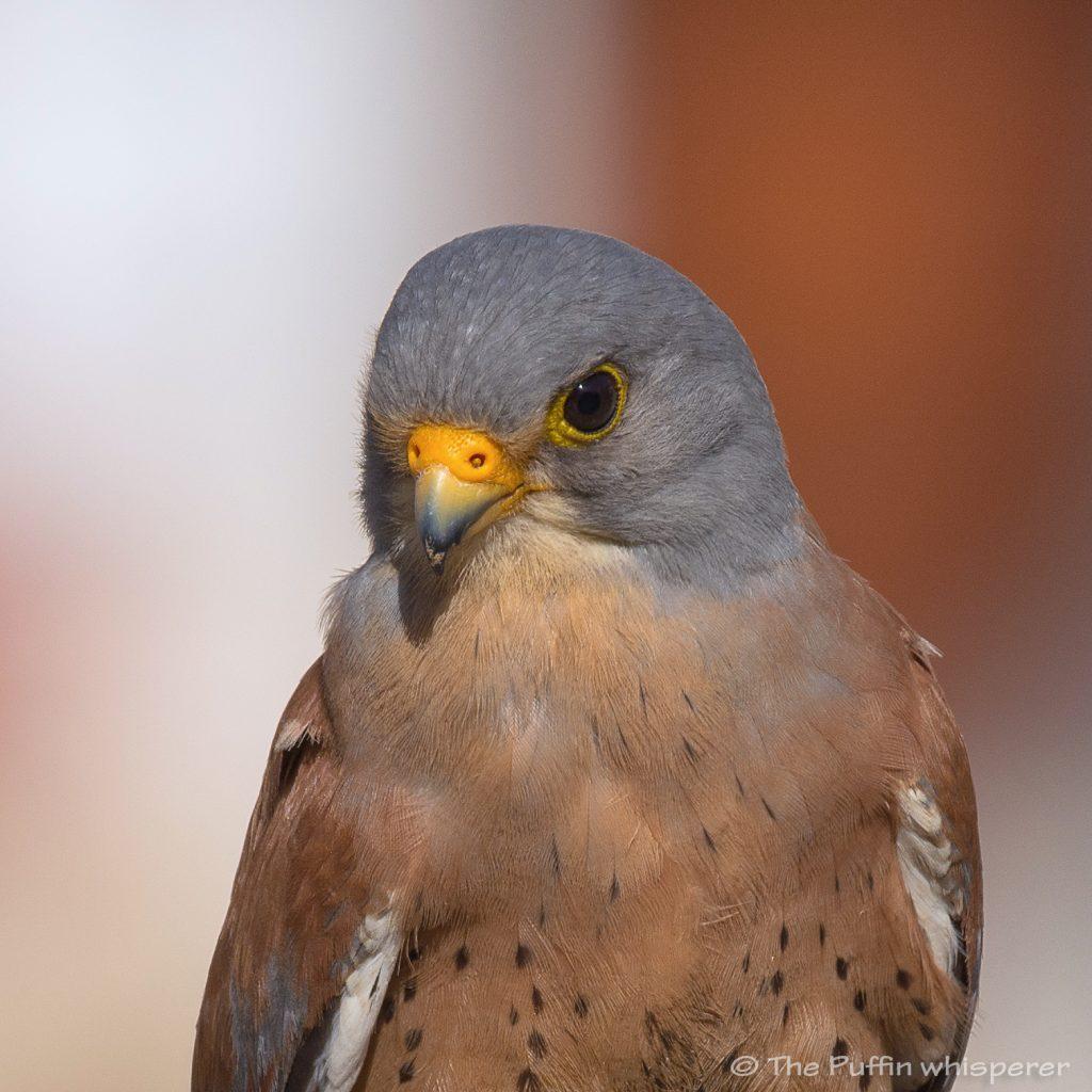 Falco-grillaio-Matera-Lesser-kestrel-©-Antonella-Papa