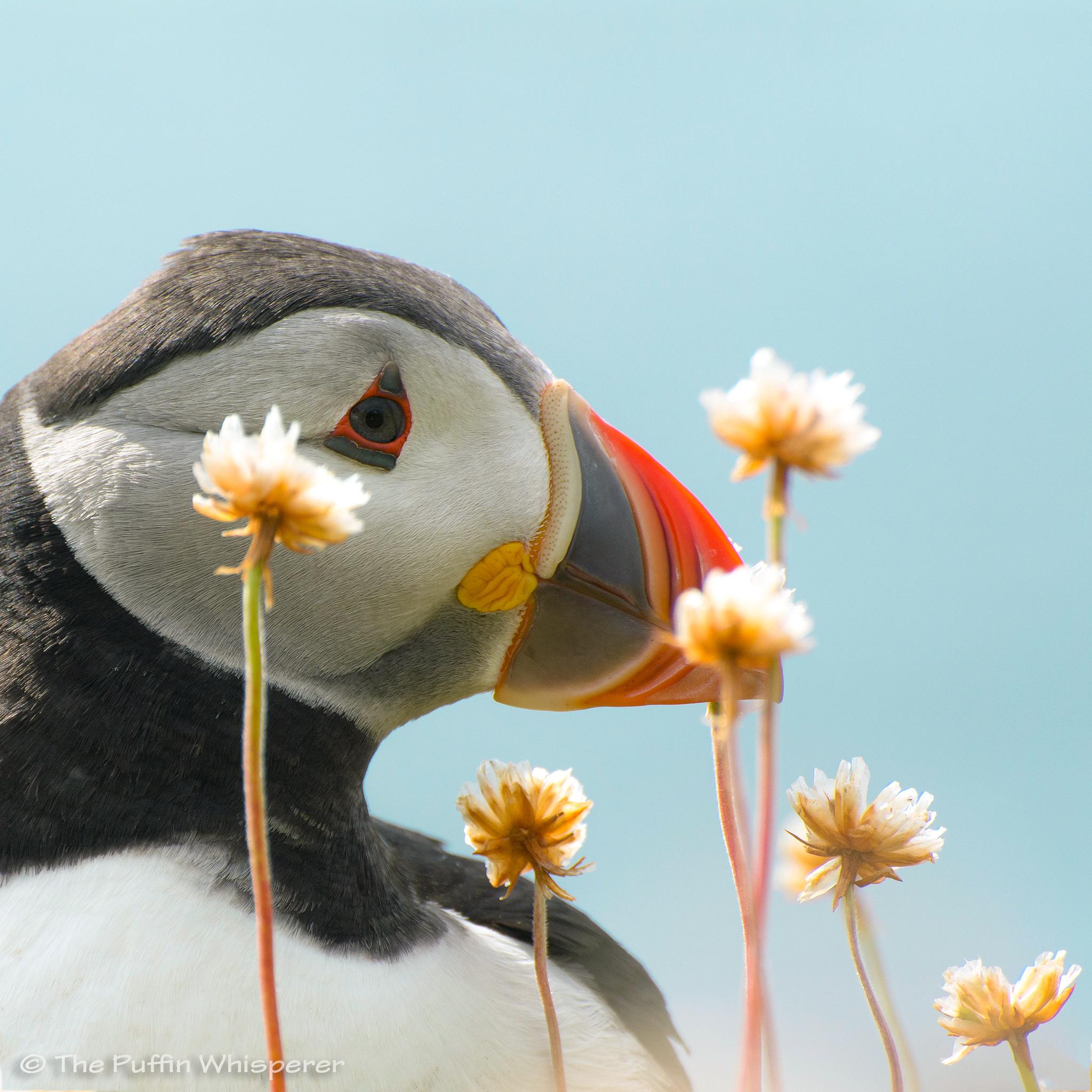 Puffin fiorito © Antonella Papa